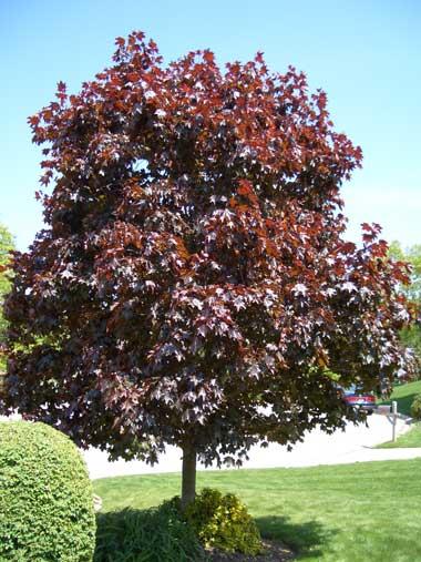 Crimson King Maple Home Landscape Materials Naperville Nursery